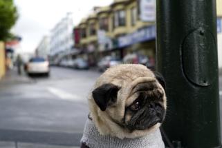 sad-pug-is-sad-big